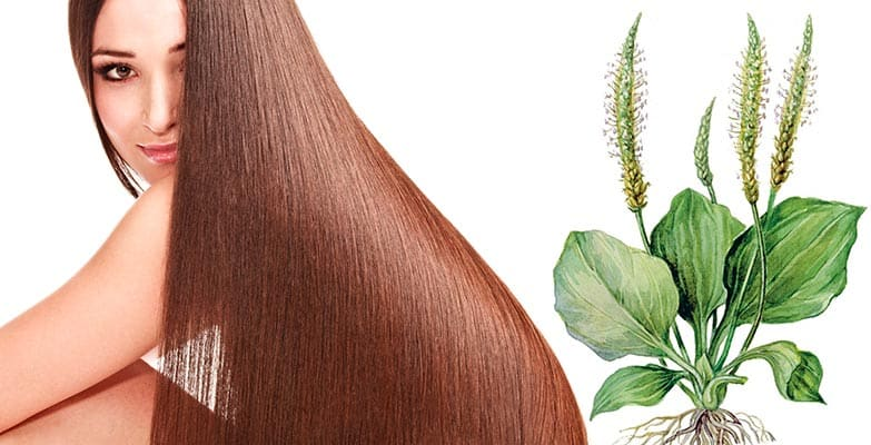 листья подорожника для волос