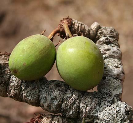 масло дерева ши для волос